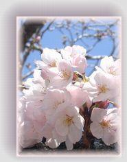 sakura-omoi.jpg